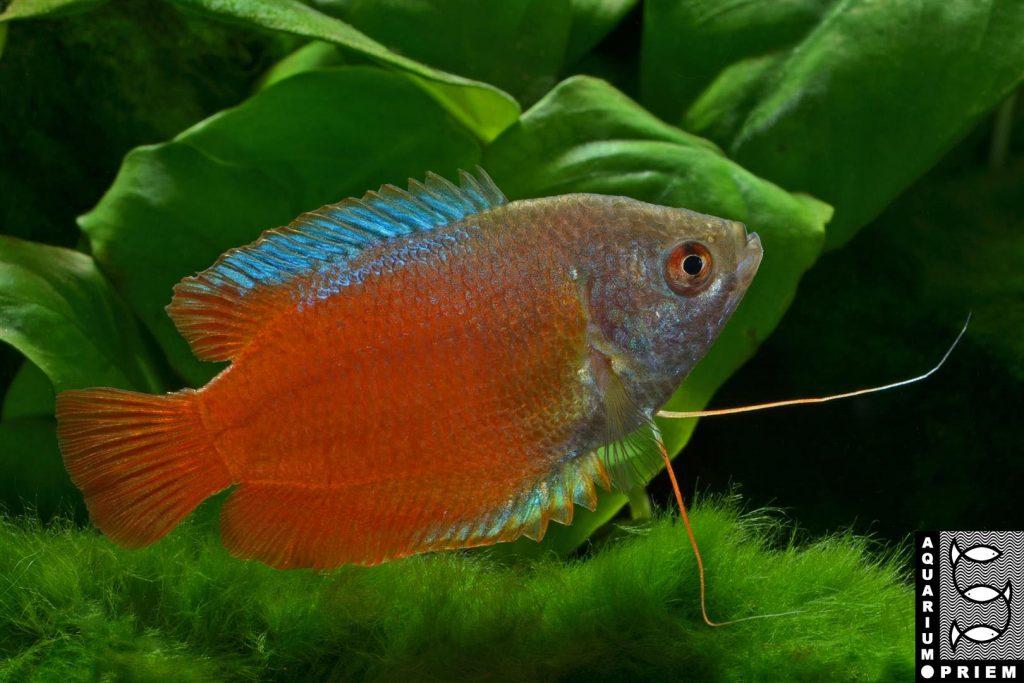 Roter Zwergfadenfisch Colisa lalia red Priem 1