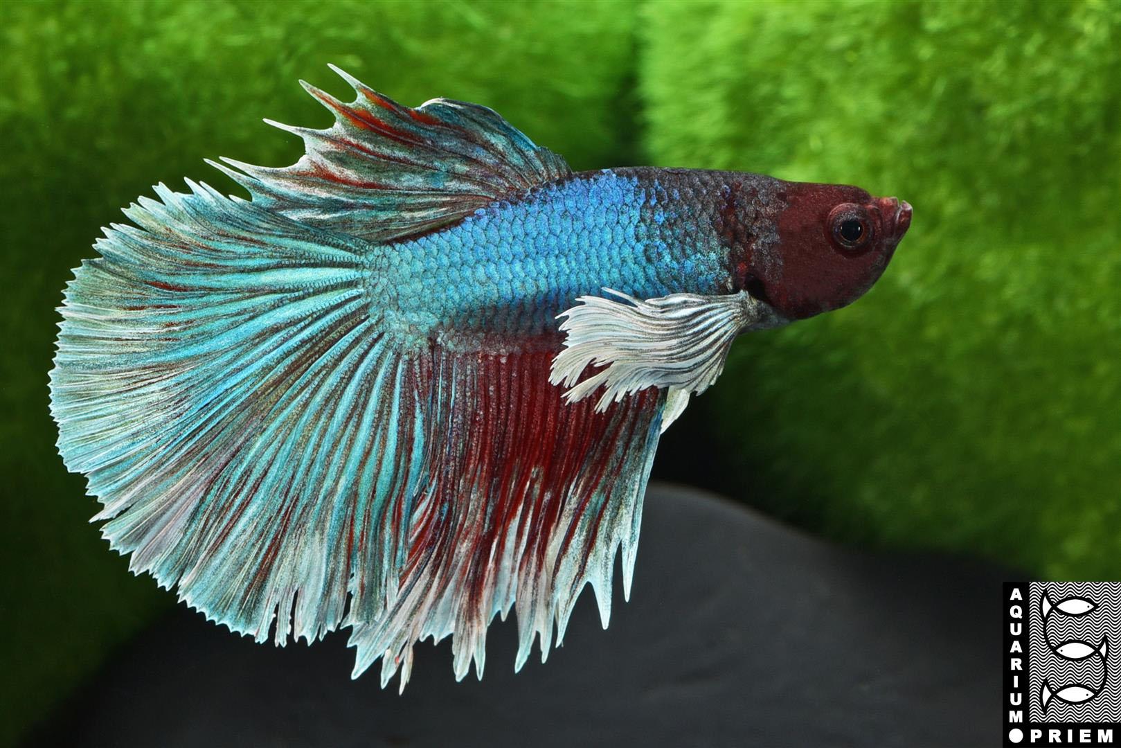 Kampffisch-Betta-Priem