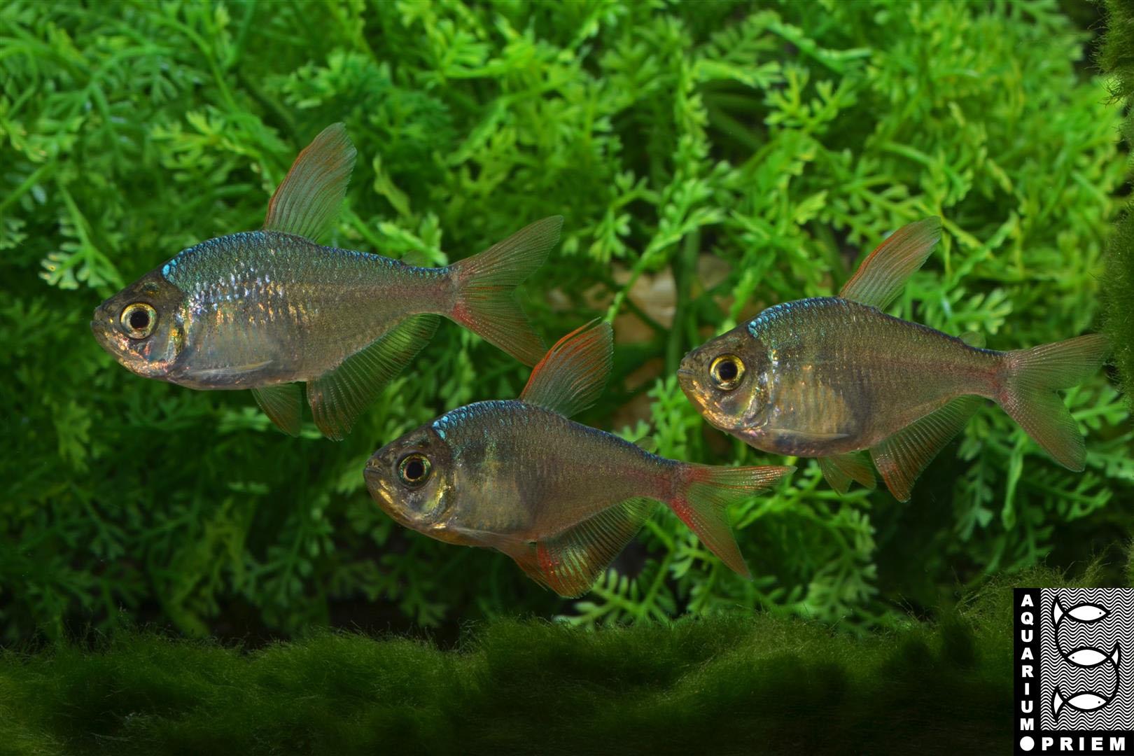 Schmucksalmler - Hyphessobrycon-rosaceus-Gruppe-Priem