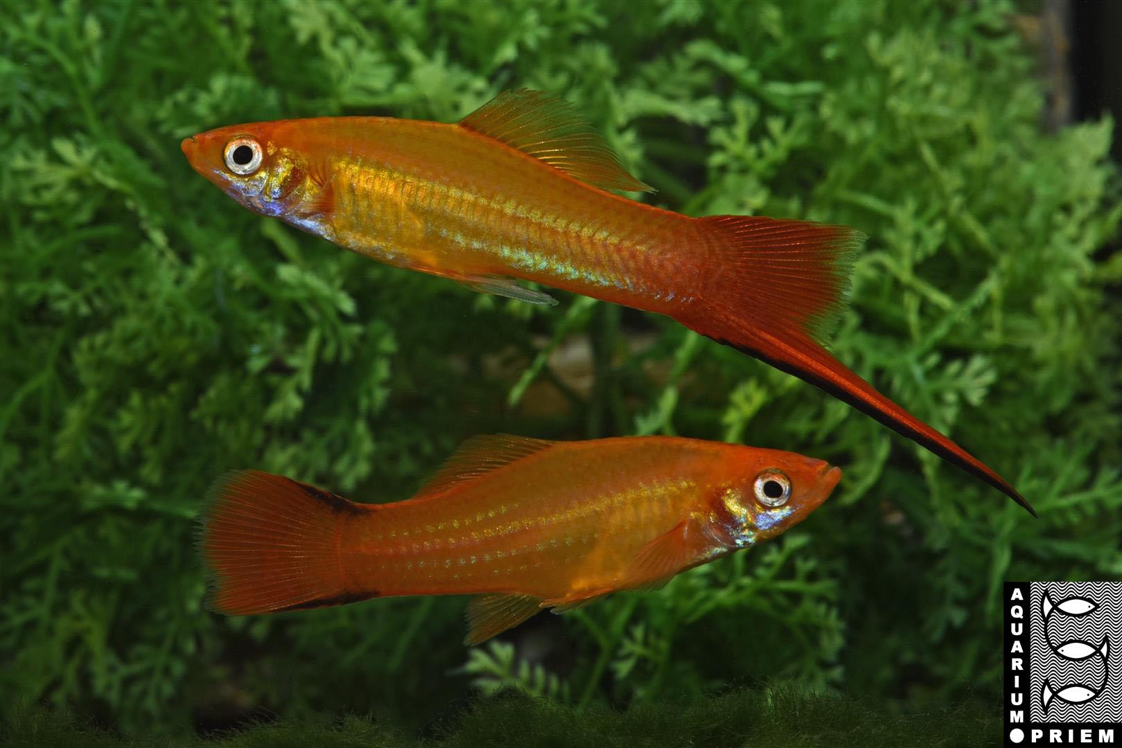 Schwertträger-Gold-Xiphophorus-hellerii-Priem