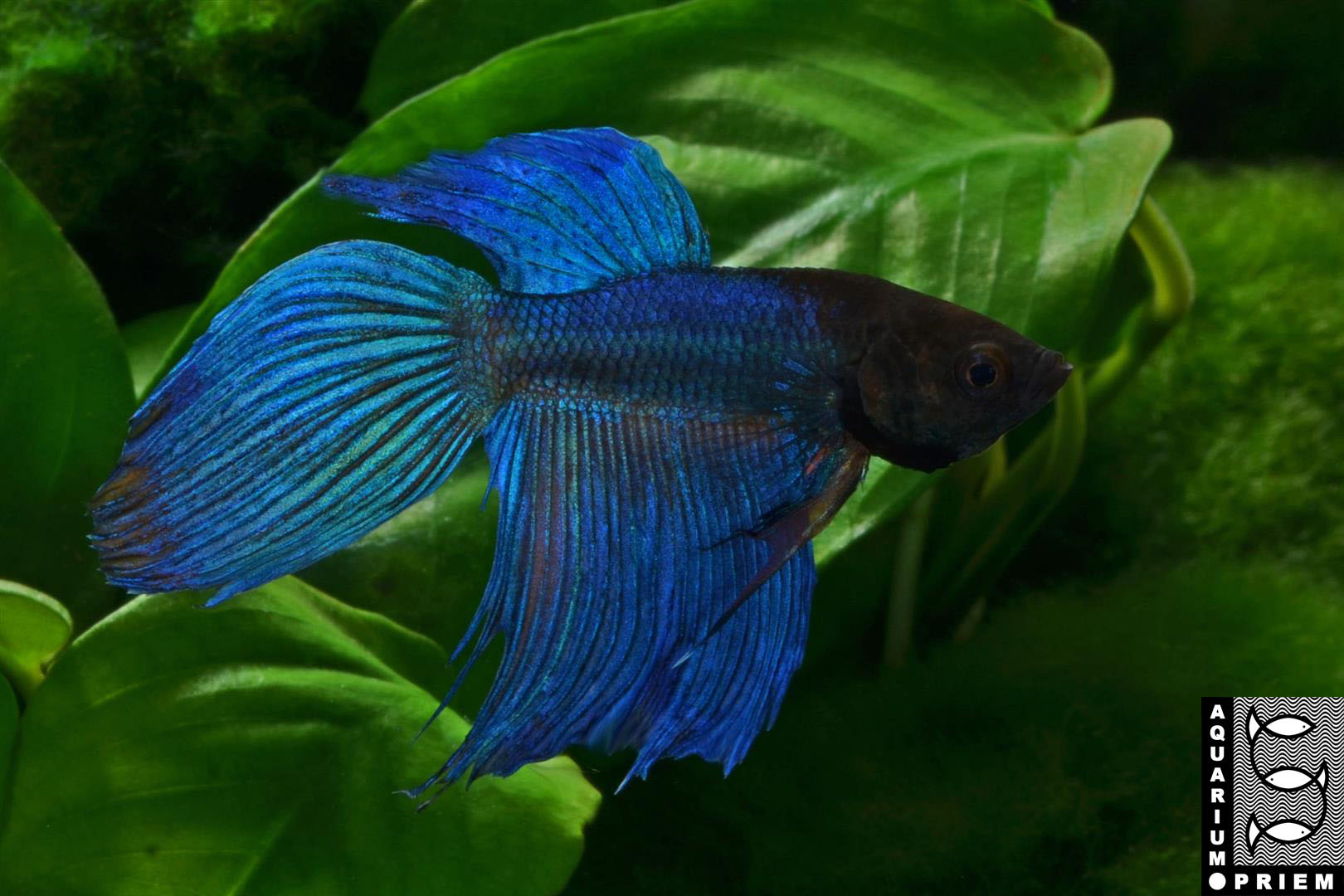 Siamesischer-Kampffisch-Betta-splendens-blau-Priem
