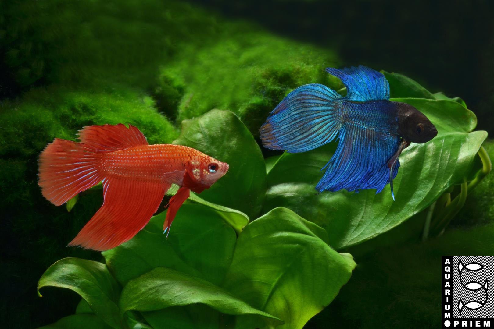 Siamesischer-Kampffisch-Betta-splendens-blau+rot Priem