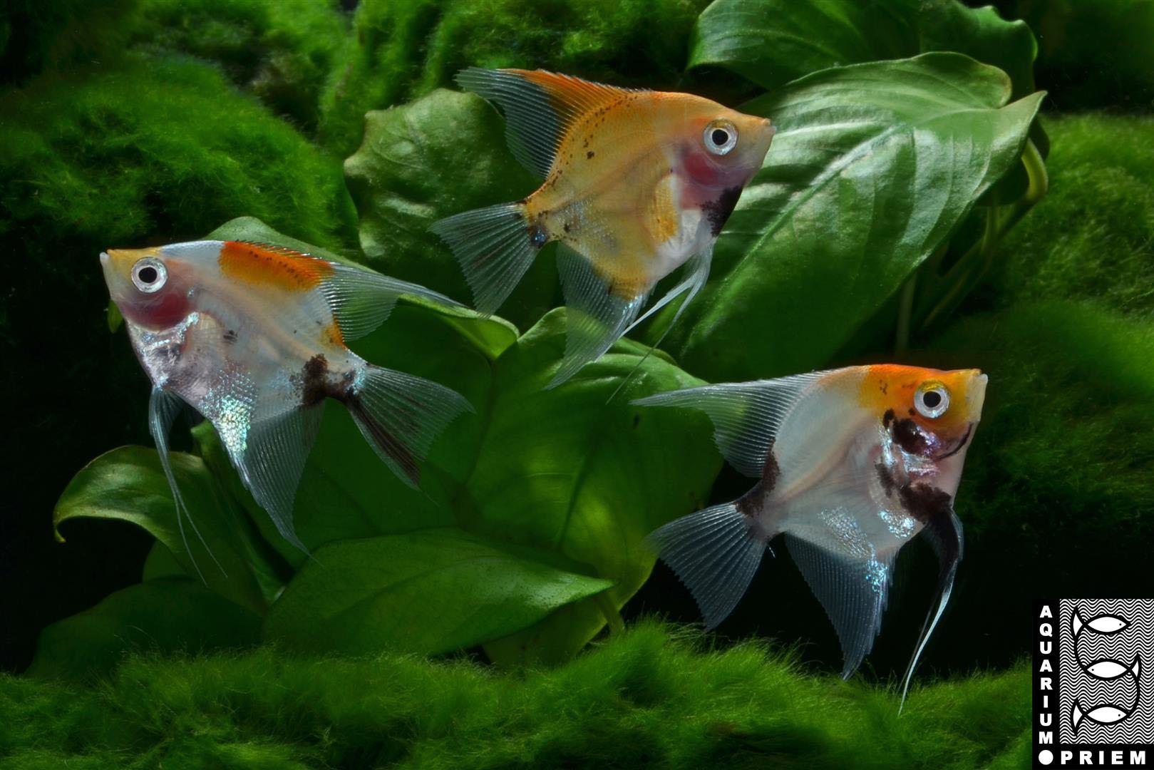 Skalar-Koi- Pterophyllum-scalare-G-Priem